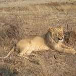 Walking with Lions in Zimbabwe - Why I Did It Then, but Wouldn't Do It Now