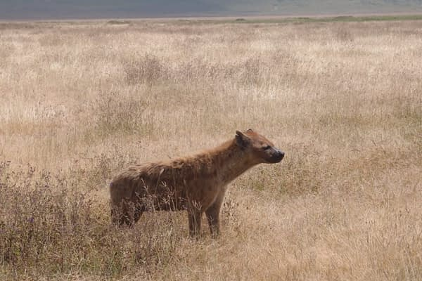 spotted hyena standing in dry grass