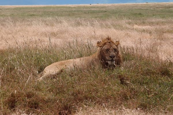 a lion in Ngorongoro Crater, Tanzania