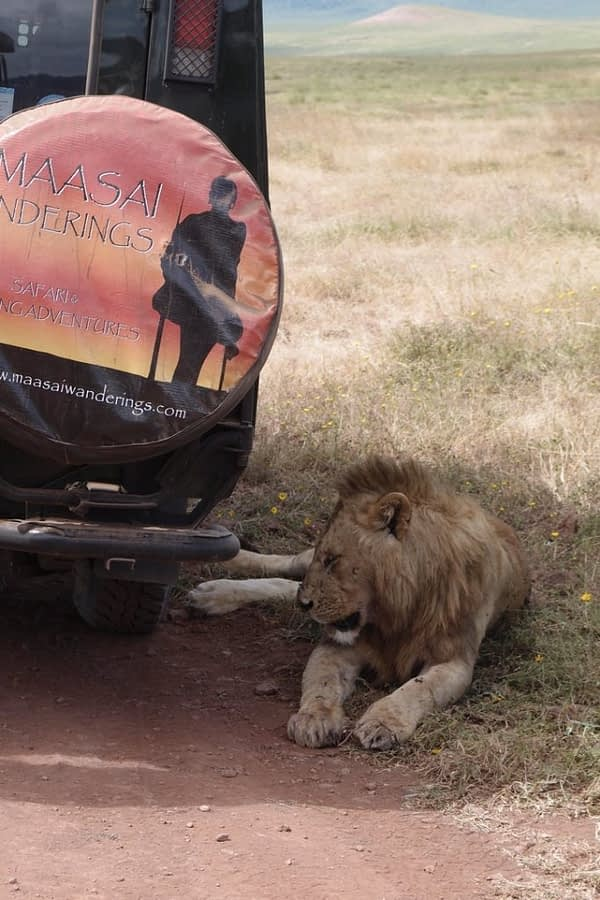 lion lying in the shade of a safari jeep
