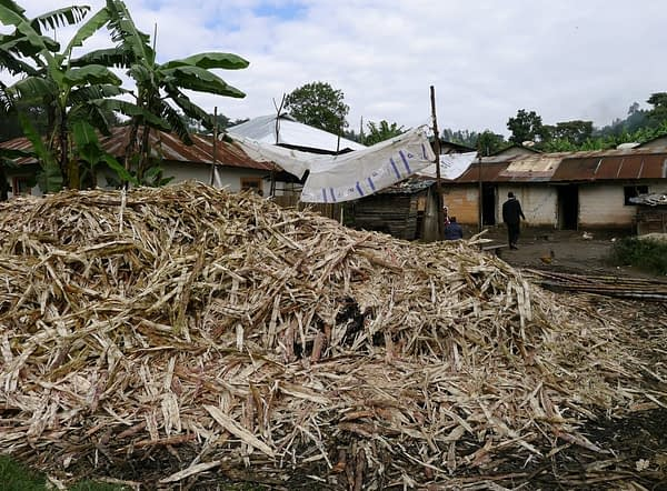 Pile of shredded sugar cane