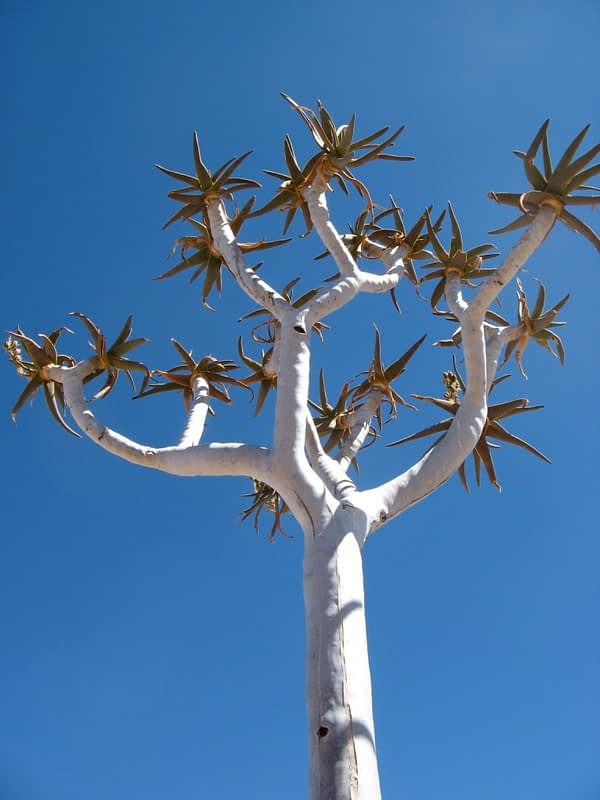 close up of quiver tree, Namibia