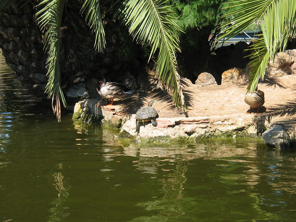 turtles in the lake at Ciutadella Park