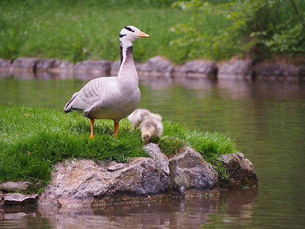 bar-headed geese by a lake